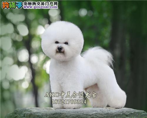 上海比熊高品相赛级小犬驱虫已做全国发货