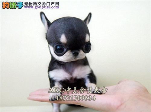 上海正规犬舍可爱顶级茶杯吉娃娃幼犬
