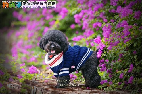 上海家养泰迪极品三个月公母均有全国发货