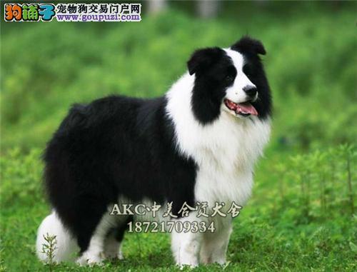 上海家养边牧帅气自家养犬全国发货