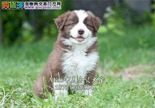 上海便宜出售边牧赛级小幼犬待售全国发货