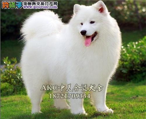 上海犬舍萨摩耶乖巧幼犬待售全国发货