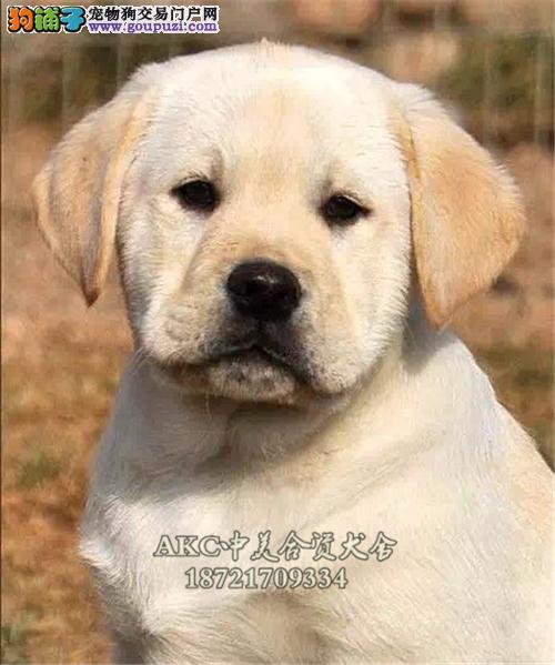 上海拉布拉多精品新生短毛犬全国发货