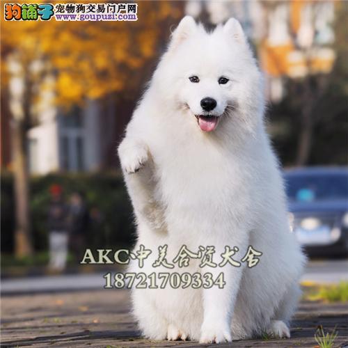 上海萨摩耶出售微笑狗狗送用品全国发货