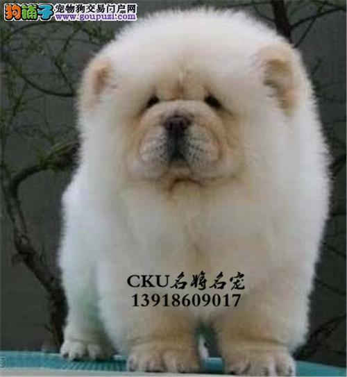 广东松狮听话极品胖胖犬保健康全国发货