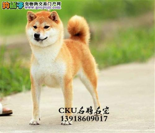 上海出售柴犬纯种忠厚犬双血统全国发货