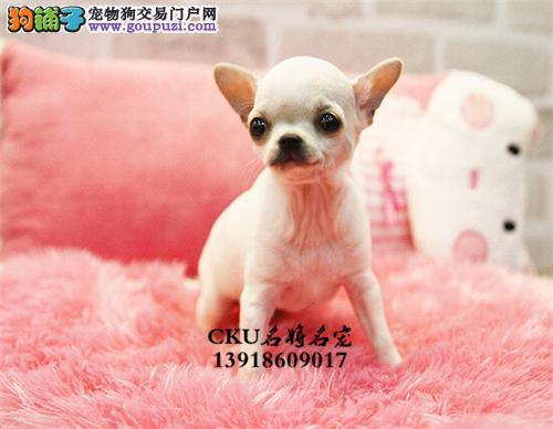 广东吉娃娃纯种茶杯狗狗下单有礼全国发货