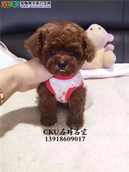 广东犬舍泰迪帅气健康小体幼犬全国发货
