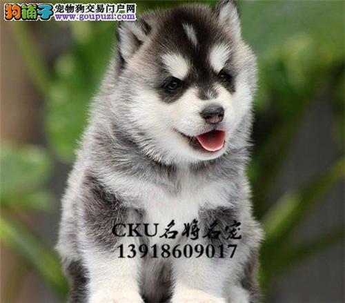 广东出售哈士奇帅气狗狗幼犬待售全国发货