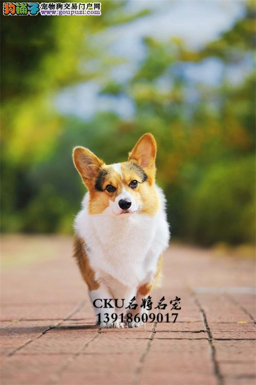 广东出售柯基出售狗狗全国发货