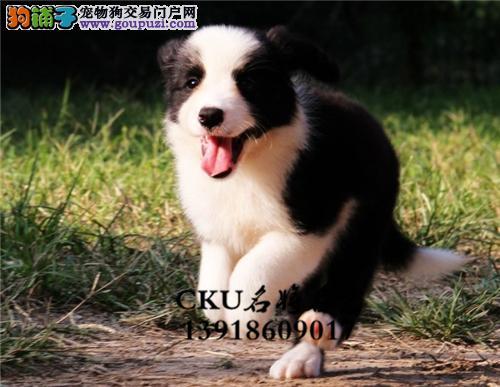 广东犬舍边牧宽鼻线幼犬待售全国发货