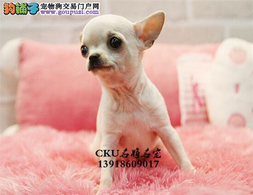 广东便宜出售吉娃娃聪明可爱大头全国发货