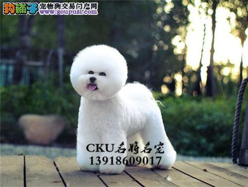 广东比熊高品质好养超萌犬保健康全国发货
