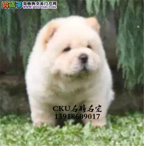 浙江正规犬舍松狮听话帅气紫舌犬全国发货