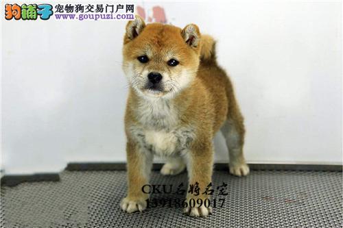 浙江家养柴犬新生听话三个月狗狗全国发货