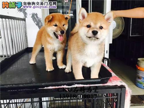 四川柴犬听话帅气微笑狗狗带证书全国发货