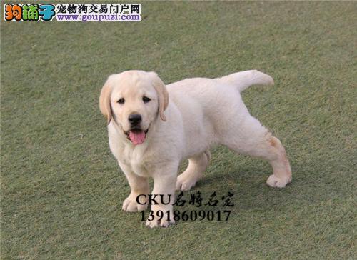 黑龙最大犬舍拉布拉多出售好养全国发货