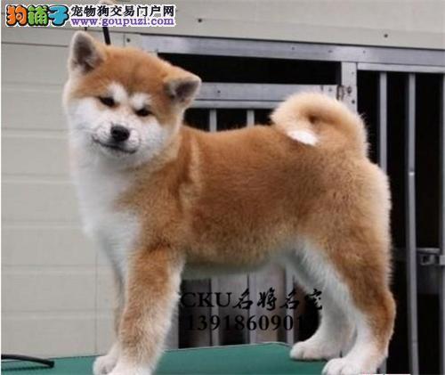 河南秋田乖巧健康日系犬保健康全国发货
