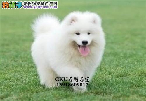 安徽正规犬舍萨摩耶赛级犬全国发货