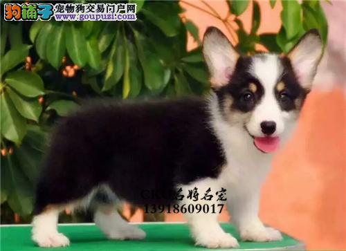 云南最大犬舍柯基出售犬包纯种全国发货