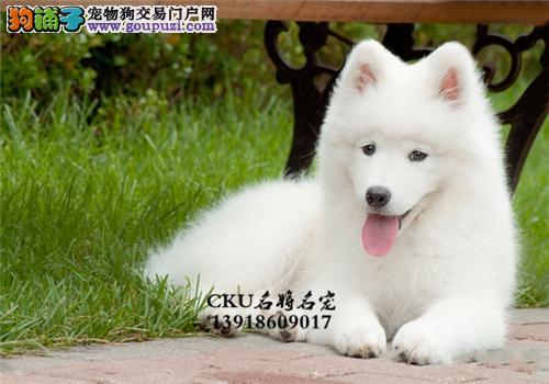 云南正规犬舍萨摩耶阳光全国发货