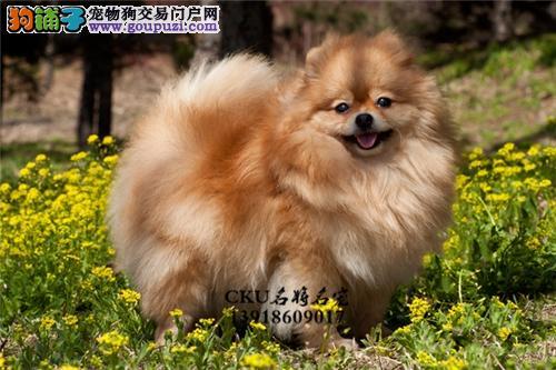 云南出售博美顶级听话小狗狗全国发货