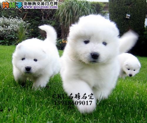 湖北出售萨摩耶新生漂亮澳版犬全国发货