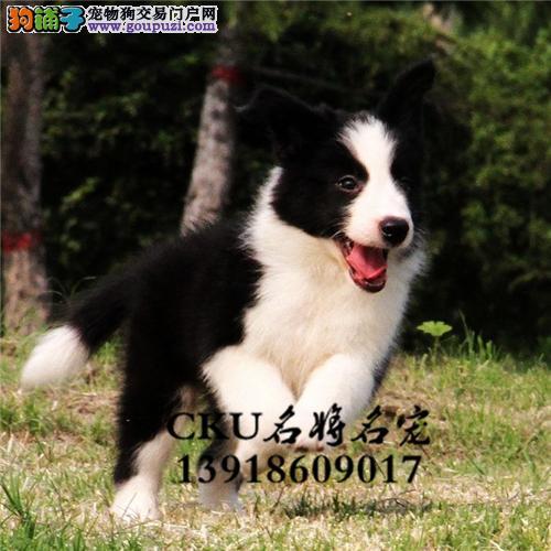 新疆家养边牧可爱纯种幼犬全国发货