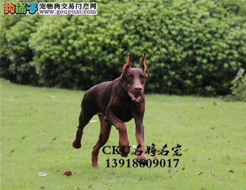新疆家养杜宾漂亮自家养威猛犬全国发货