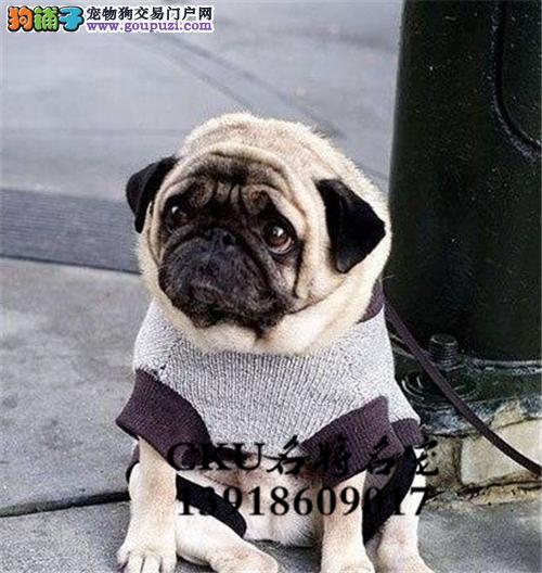 新疆巴哥鹰版犬驱虫已做全国发货
