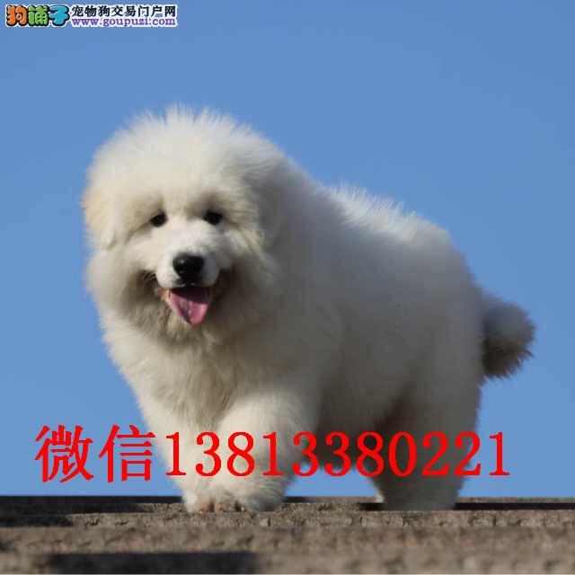 长春哪里有卖大白熊 巨型大白熊价格 大白熊犬舍