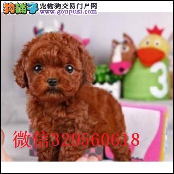 长春泰迪犬出售 小体泰迪 玩具泰迪 长春哪里有卖泰迪