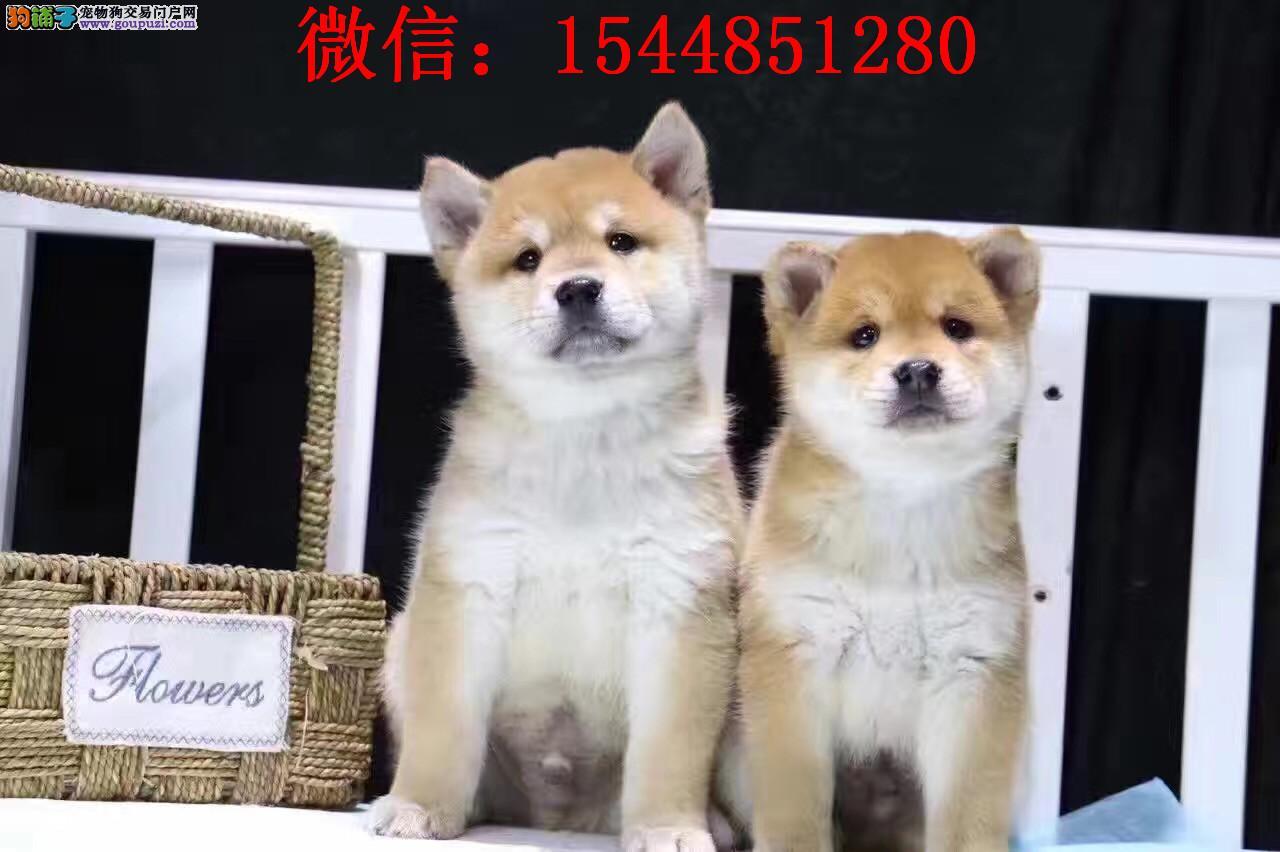 银川柴犬 日系柴犬 柴犬价格 柴犬图片 赤色柴犬犬舍