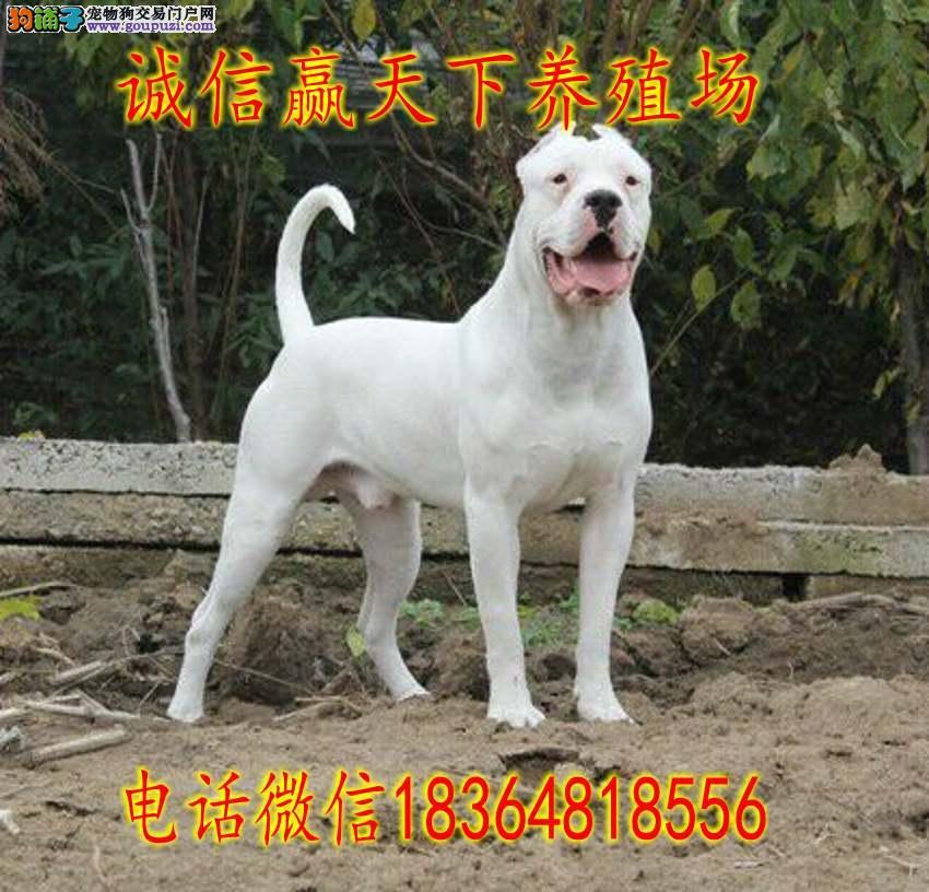 杜高犬养殖场出售纯种杜高犬幼犬价格