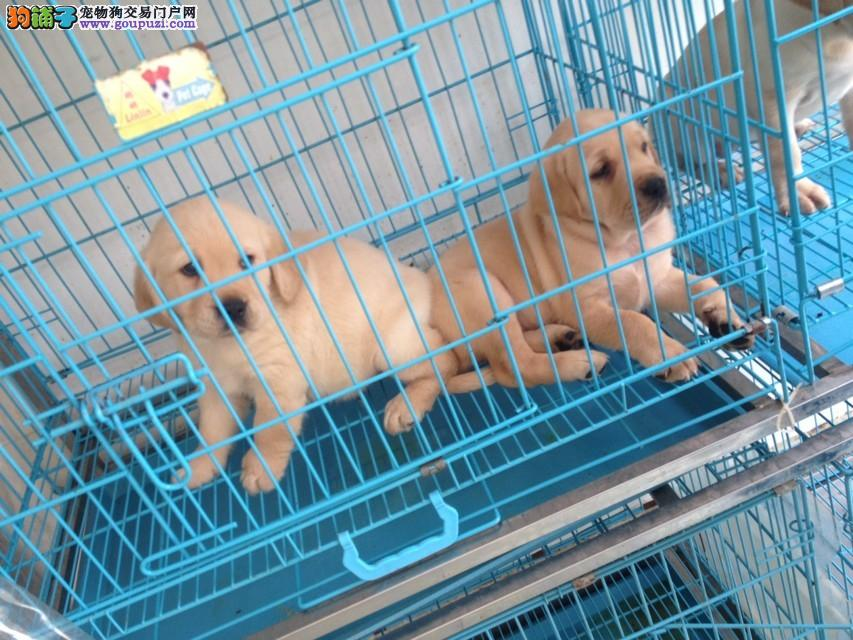 普陀区犬舍买拉布拉多犬158218869