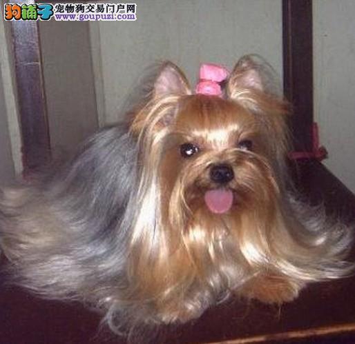 深圳约克夏一只多少钱深圳哪里有卖约克夏犬
