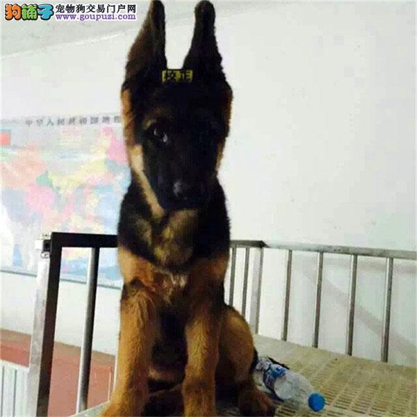 可爱又超大骨架的狼狗幼犬看家护院首选
