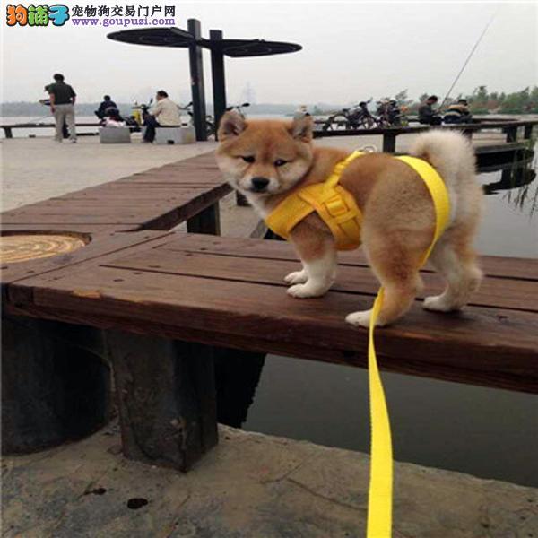 世界上忠诚的犬出售纯种健康的柴犬幼犬活泼靓丽聪明