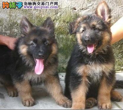 优质锤系德国牧羊犬出售 大头黑脸方嘴 签协议
