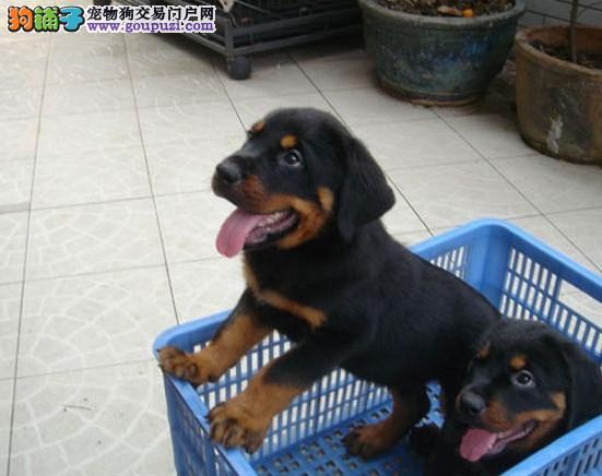顶级纯正德系大头罗威纳AKI血系幼犬待售CKU认证