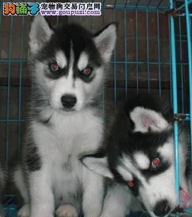 双蓝眼、三把火、正规犬舍繁殖、签终身保障合同、带证