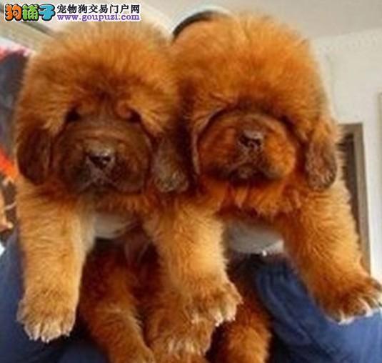 纯种铁包金红獒雪獒大狮子头藏獒幼犬霸气猛犬