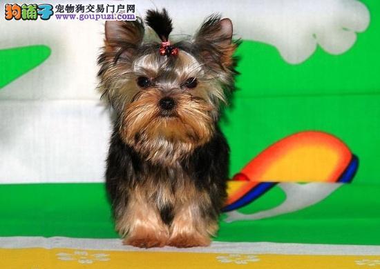 金头银背约克夏超级萌萌哒 能配的上你身份的贵族爱犬