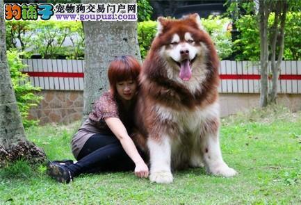 熊版阿拉斯加雪橇犬 骨架大 完美伴侣 保证健康