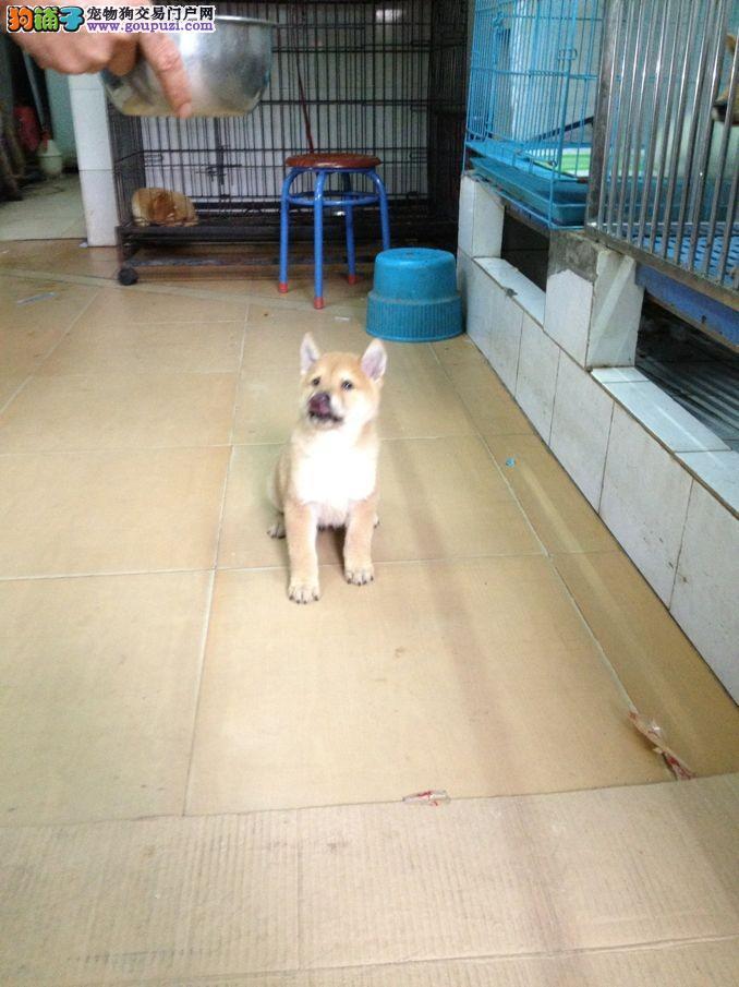 精品纯日系柴犬、国外引进种犬、签订终身纯种健康协议