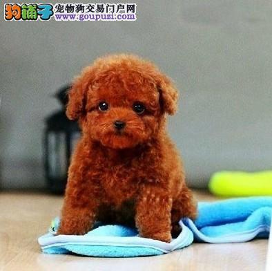 茶杯泰迪犬 玩具泰迪犬  种公外配  支持送货上门