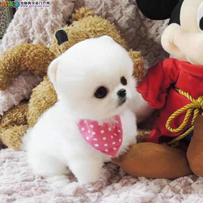 漂亮的哈多利球体 博美宝宝 出售了 终身包纯包健的