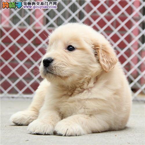 温顺热情的伴侣犬金毛宝宝出售 可协议保健康保品质