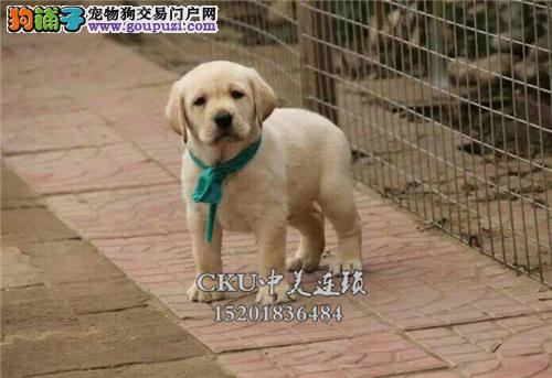 广东拉布拉多帅气好养幼犬待售全国发货