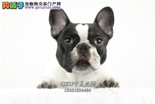 广东出售法牛帅气好养法国斗牛犬全国发货